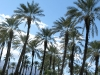 Date Palm Trees at Shields Date Farm Indio, CA