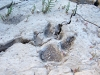 Rio Grande Mud Coyote Paw Print