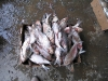 13. Crawfish farming, Abbeville, LA