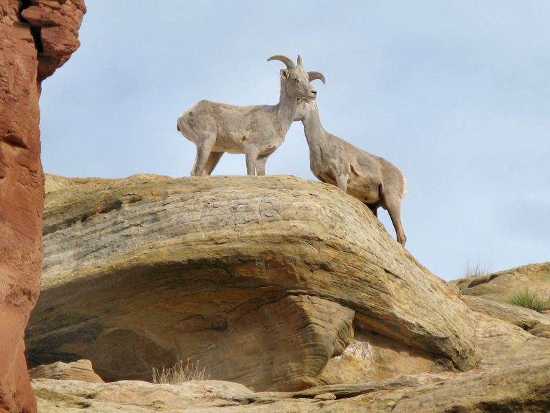 Capitol Reef Bighorn Sheep of Cohab Canyon