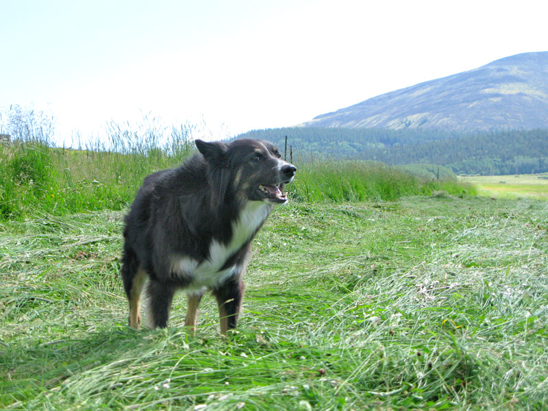 Vickers farm dog Wilbur in fresh cut hay field