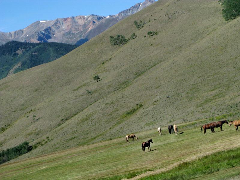 Horses graze fresh mowed hay at Vickers upper ranch