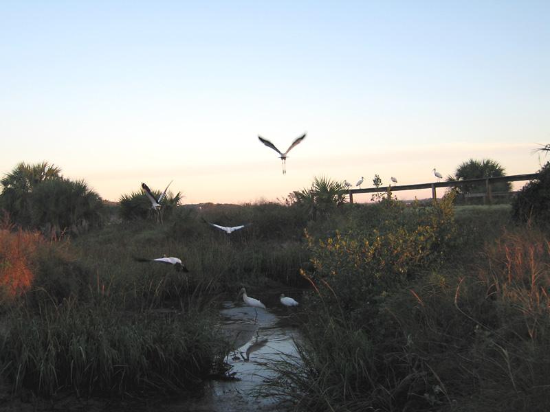 Cranes take flight in Anastasia State Park