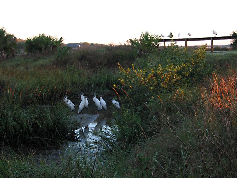 Cranes at Anastasia State Park