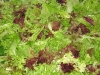 15. White Rabbit lettuce Wash ready for market