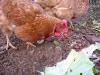 10. Organic Chickens at White Rabbit Acres