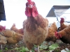 01. Organic Chickens at White Rabbit Acres