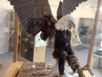 Eagle Catching Ritual Carbon County Museum