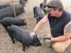 Diggin Dust Heritage Hog Farm