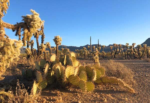 Tucson Arizona Cactus