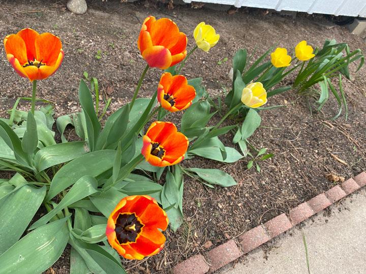 colorado tulips