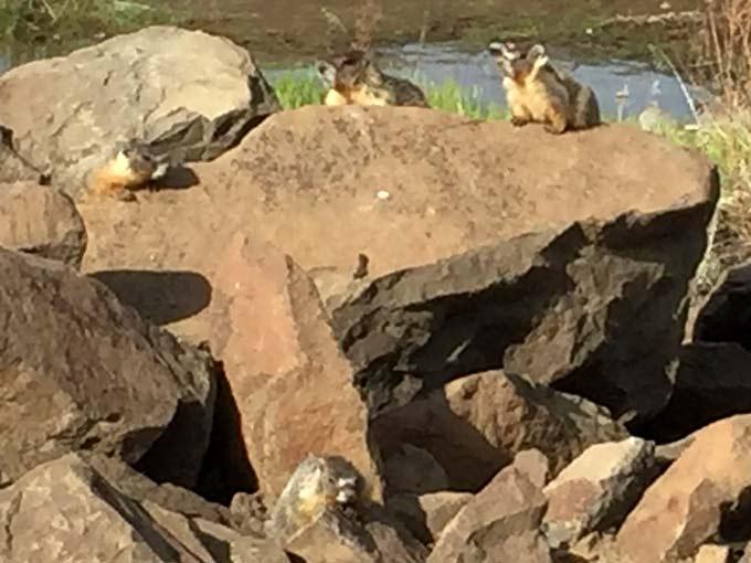 Quincy Lakes Marmot Family