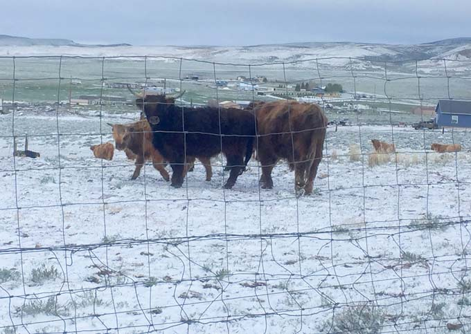 Rawlins Wyoming Woolly Bully in Snow