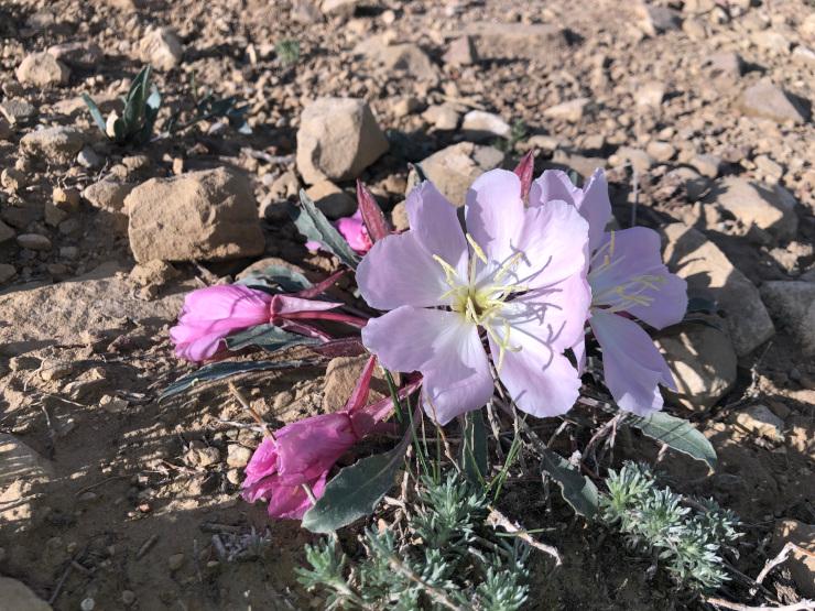 Tufted Evening Primrose Flower