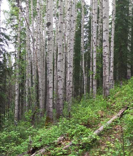 Tumbler Ridge Point Trail Birch Grove