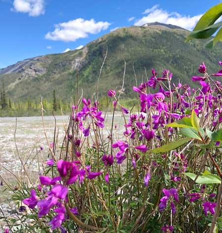 Petersen Creek BC Wildflower