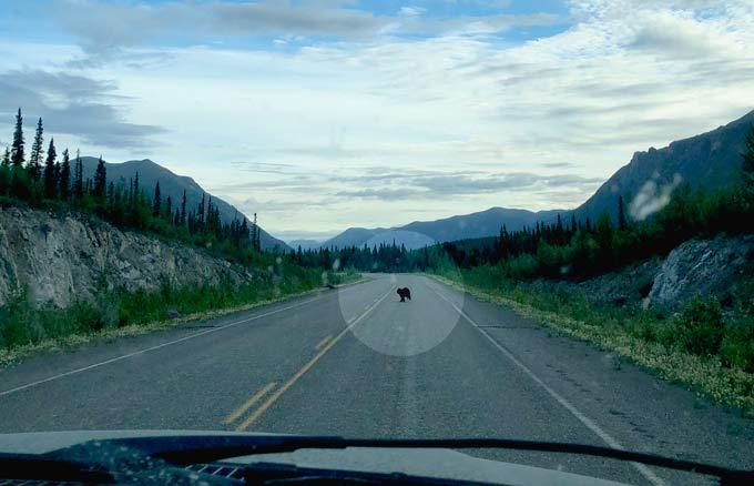 Black Bear on Alcan Highway near Burwash Landing, Yukon