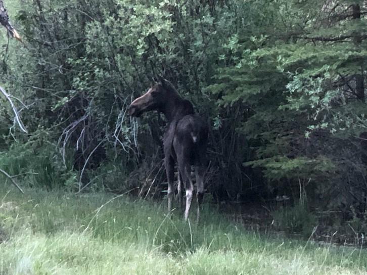 Lake City Colorado Moose