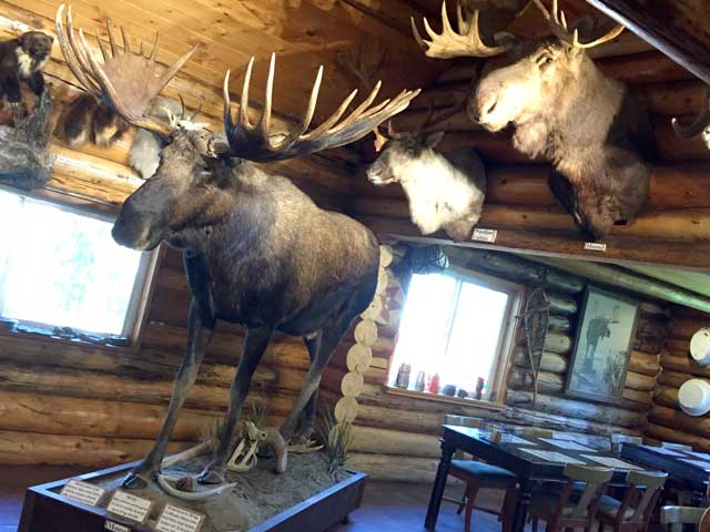Cassiar Highway Lodge Taxidermy Moose Mounts