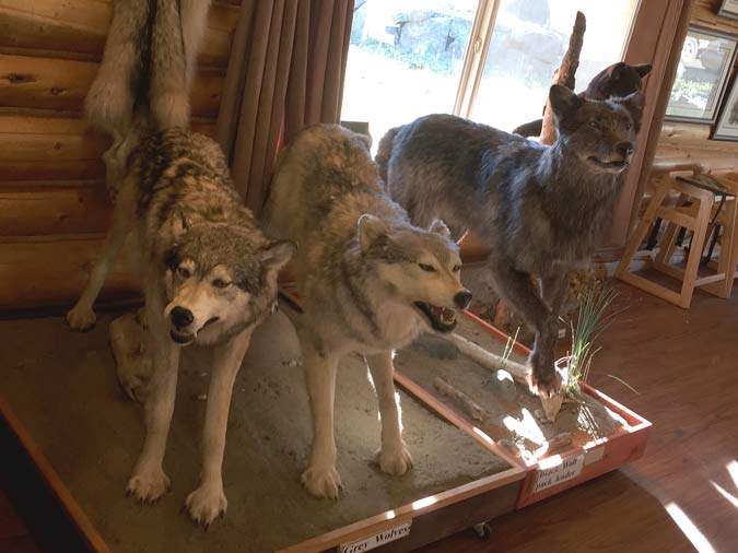 Cassiar Highway Lodge Taxidermy Wolf Mounts