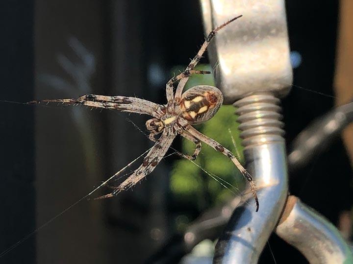 Big Ass Spider, Idaho
