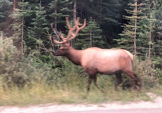 Elk on Highway in Jasper Park, British Columbia