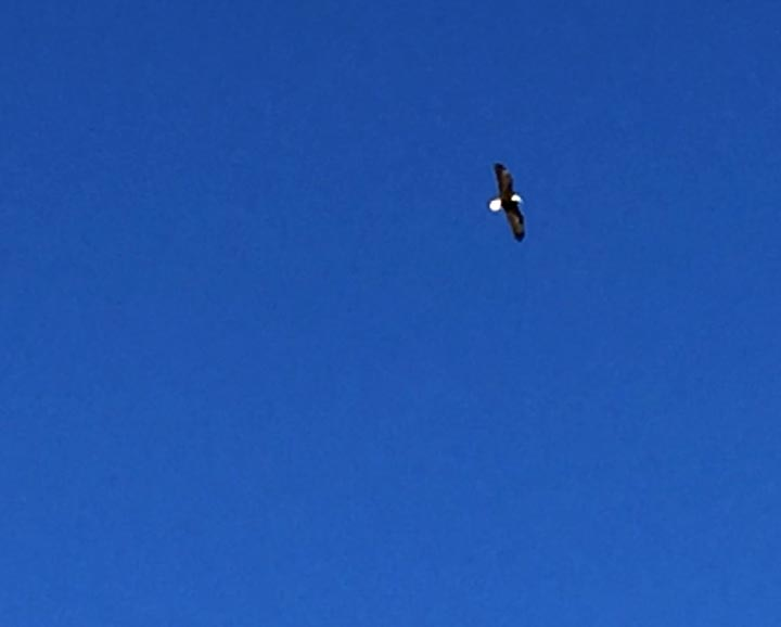 Bald Eagle Soars over Sinclair, Wyoming