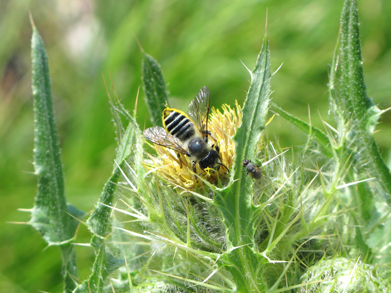 Bee collects pollen on nettle at Tom Griffin Lake