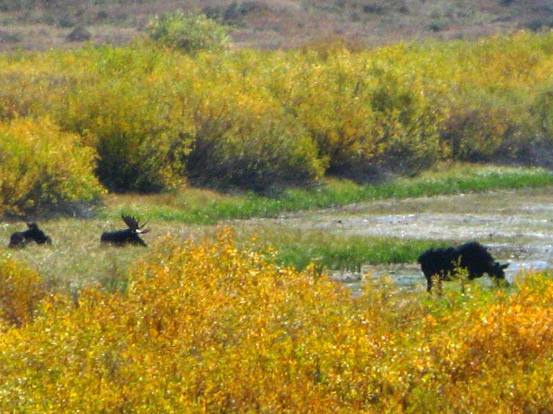 Wild moose grazing in Grand Teton National Park