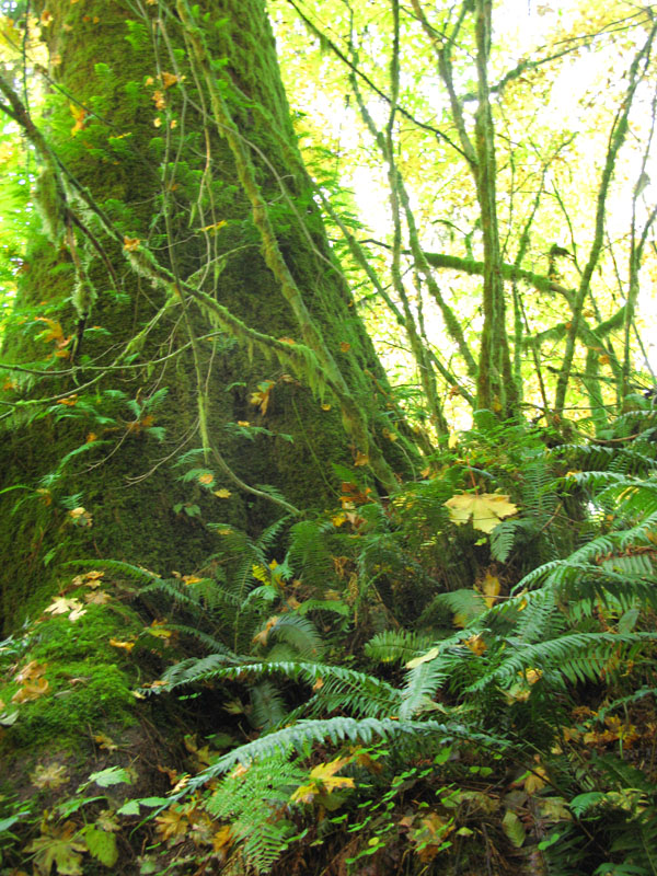 Big mossy trees in the Hoh Rainforest, Washington