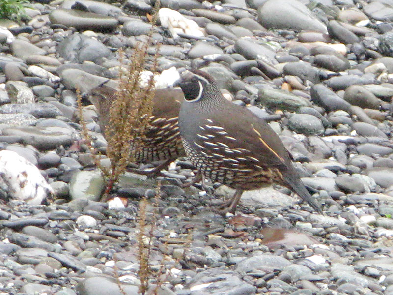Rogue River Quail on Jerrys Flats