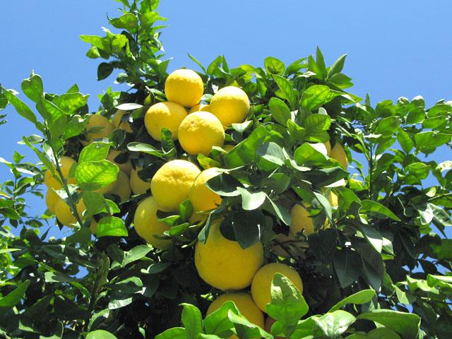 Native Palm Springs, CA Grapefruit at Rhodester Apartment