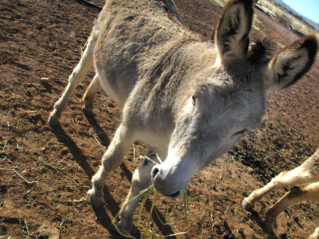 grey donkey Arizona ranch caretaking