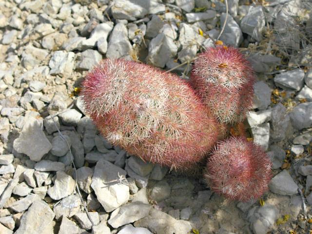 Big Bend Spiny Penis Cactus