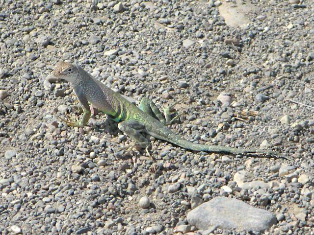 Big Bend Hot Springs Lizard