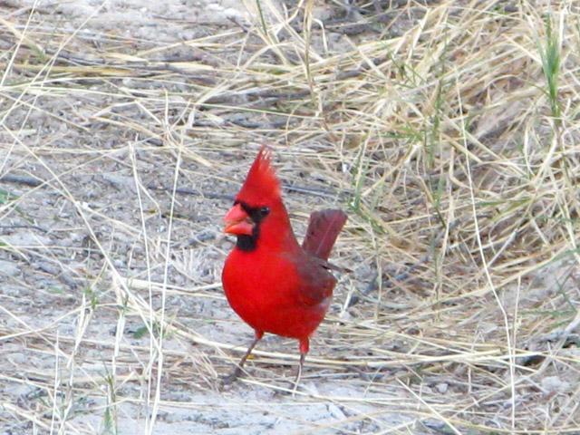 Vermillion Flycatcher Lake Amistad Texas