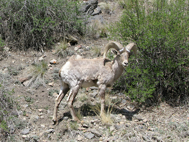 Badger Creek Boghorn Sheep Buena Vista Colorado