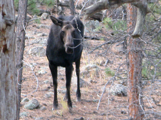 Moose in our Crystal Lakes back yard!