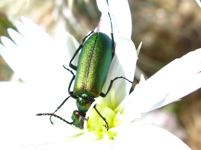 Anza Borrego Desert Bug