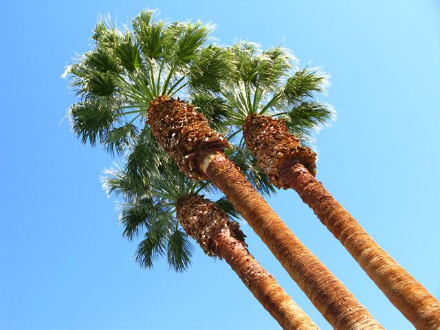 Borrego Springs Palm Trees