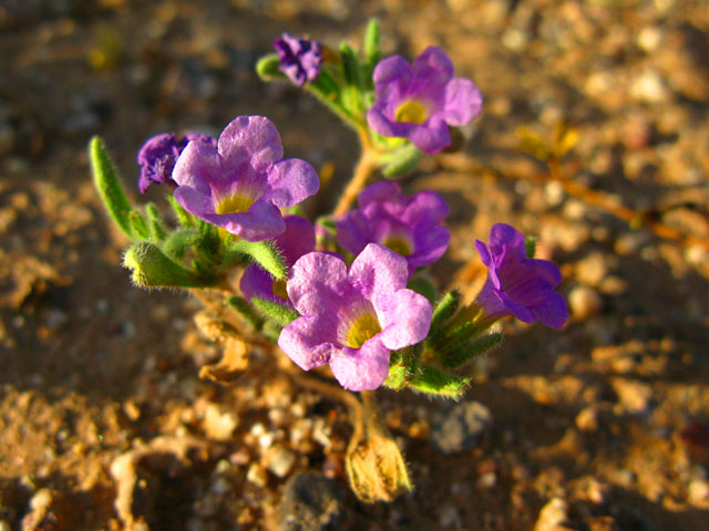 Tiny Spring Desert Flowers near Organ Pipe Natl. Monument