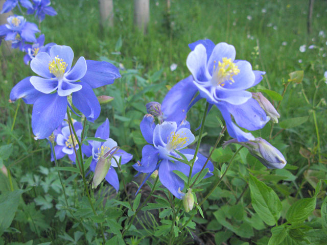 Colorado Rocky Mountain Spring Flowers