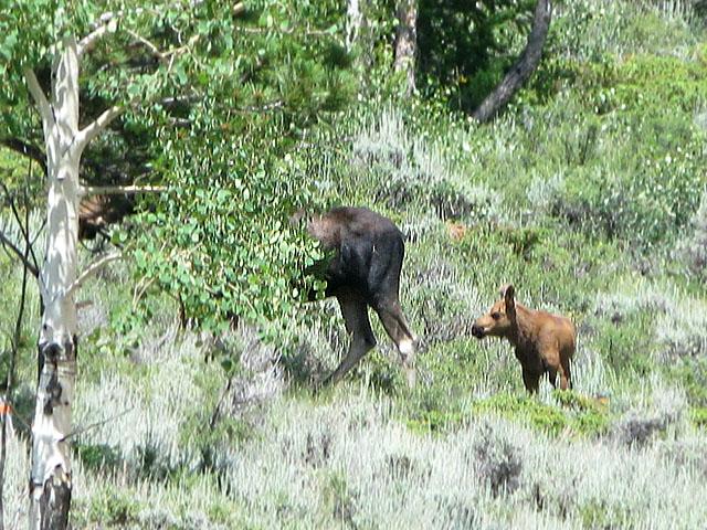 Crystal Lakes Colorado Moose Cow with Calf