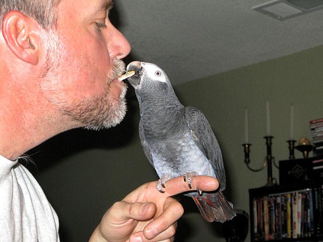 African Grey Parrot at Shapiro Zoo