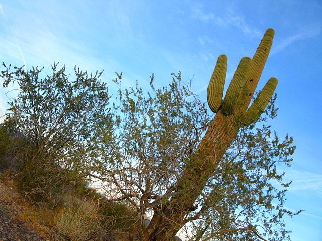 Quartzite Arizona Cactus