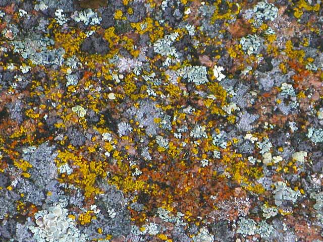 Colorado Rocky Mountain Lichens