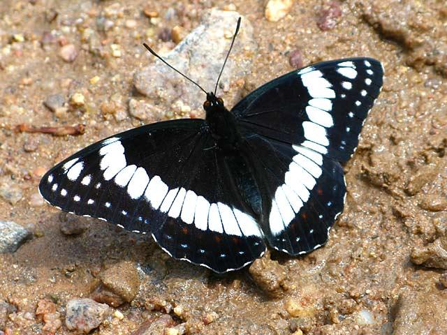 Colorado Rocky Mountain Butterfly