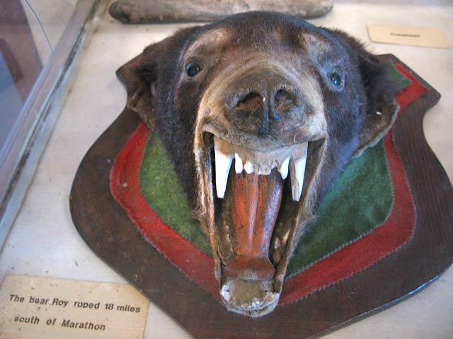 The Bear Roy Stillwell Roped