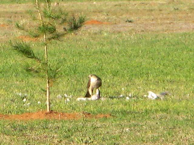 Hawk Kills Dove in Texas Wild Kingdom