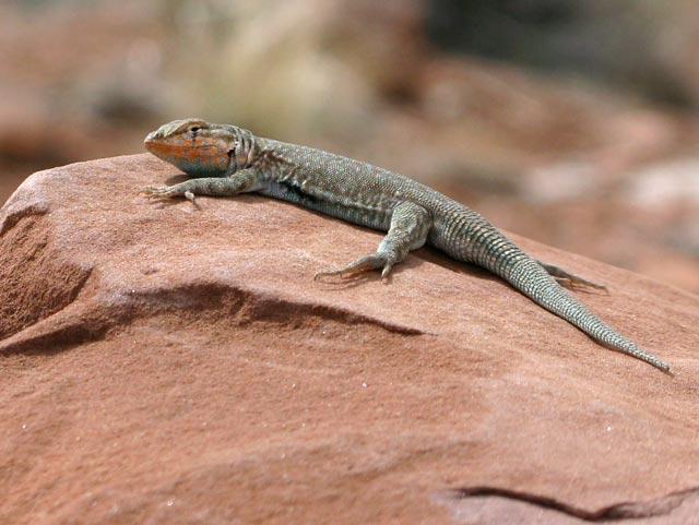 Goosenecks Utah State Park Desert Lizard